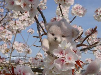 桜牙 羊毛フェルト 犬 リアル