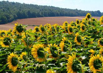 an Sonnenblumenfeldern vobei, geht es nach Hause