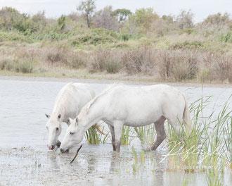zwei weiße Pferde im Wasser. Pferdefotografie Heide Natur