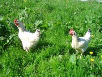 Die freilaufenden Hühner sorgen für frische Eier