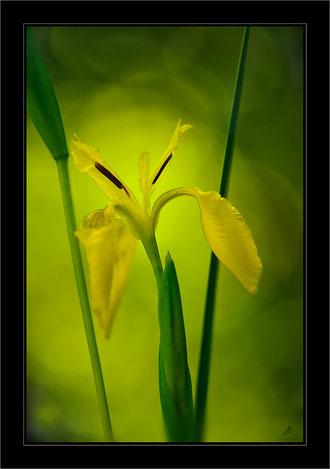 """"""" Iris"""