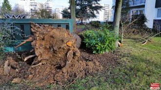 Racine de l'arbre déraciné. © Vélizy Info