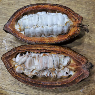 Cabosse avec fèves de cacao fraîches