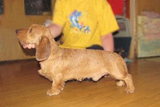 dachshund такса миниатюрная жесткошерстная Цертус Форвард лукинг