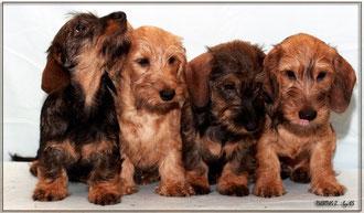 dachshund такса карликовая, продается, профессиональный питомник