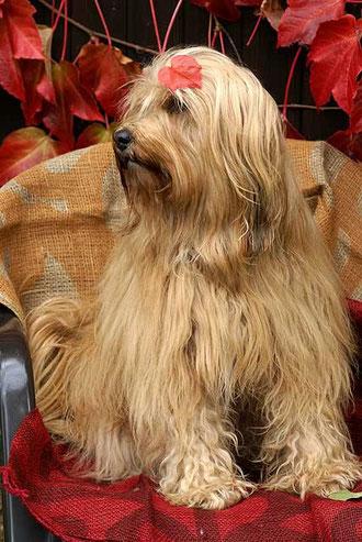 Tibet-Terrier-Hündin Srinagar Danda Bya-ra