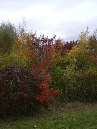 Couleur chatoyantes de l'autome, les rouges vifs, les marrons, les verts jaunissants, les oranges, les pourpres,  les couleurs chantent avant l'hiver