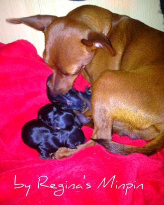 Regina's Minpin Amina and babies