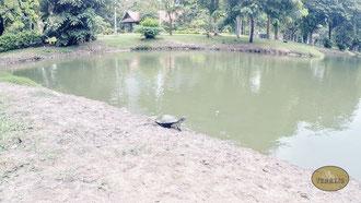 Schildkröte im Lumphini Park Bangkok