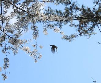 イベント解散後、桜の花ビラを食べていた(?)ヒヨドリを発見。
