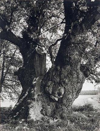 Dicke Eiche bei Borlinghausen, um 1930, Friedrich Schmieding