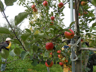 苅田農園のリンゴ畑です