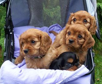 Chico, Camillo, Carlo und Cooper 8 Wochen alt