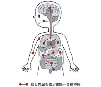 自律神経は脳と内臓を結ぶ