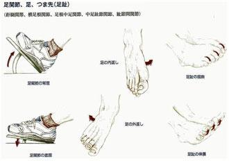 足関節の動き