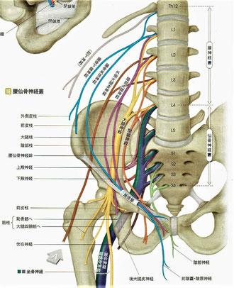 腰神経叢と仙骨神経叢