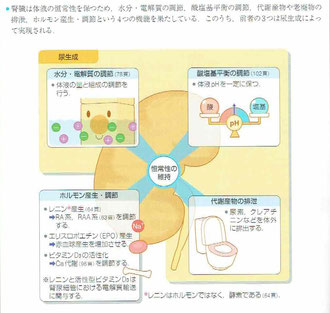 腎臓の働き:恒常性の維持