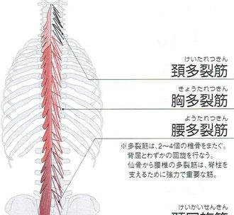 仙骨から腰椎の多裂筋は脊柱を支える重要な筋。