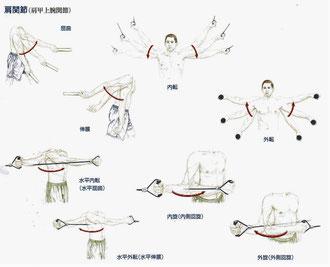 肩関節(肩甲上腕関節)