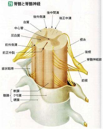 髄膜は外側から、硬膜→クモ膜→軟膜となっています。
