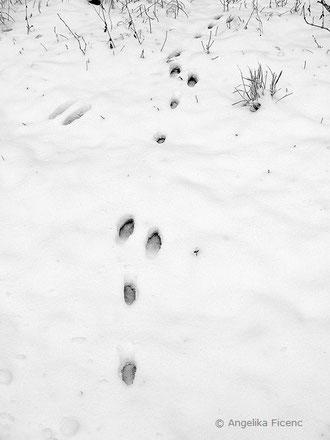Feldhase (Lepus europaeus), Trittsiegel, Spur, Winter, Schnee, Abdruck, tierspuren.at