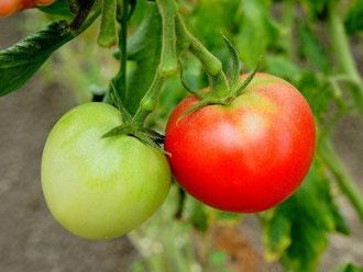 野菜ソムリエ貝田さんのトマト「桃太郎」