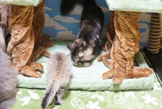 森の妖精ノルウェージャンの子猫