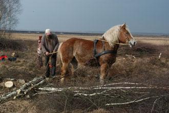 Birken im Georgsdorfer Moor entfernen. Das Rückepferd hilft beim Abtransport