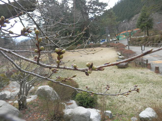 野底山森林公園 4月4日の桜