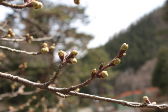 桜 野底山森林公園