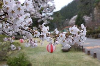 事務所前 桜の枝