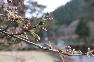 野底山森林公園 桜 開花情報