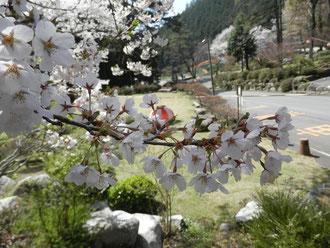 事務所前の桜 満開