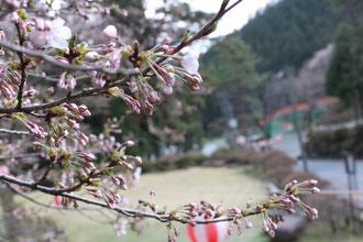 野底山森林公園 桜 開花