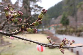 野底山森林公園 桜開花情報