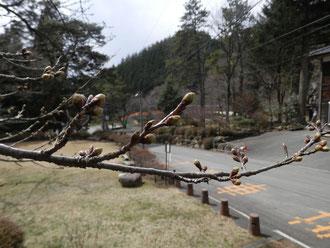 野底山森林公園 桜
