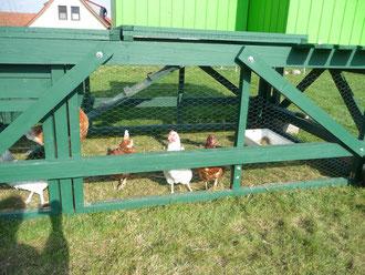 Unsere Hühner sind ganz schön stattlich! Es ist schwierig, alle fünf auf ein Bild zu bekommen...