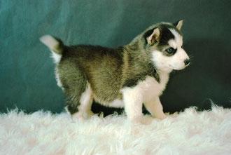 HUSKY SIBERIANO - criadero canino www animalitosasombrosos