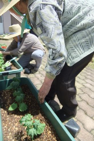 ひと苗ずつ、ゴーヤをプランターに植えていきます