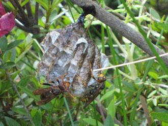 茂みにひっそりと隠れていたアシナガバチの巣
