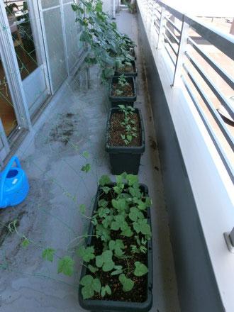 2階、ショートステイのミニ菜園。大きく成長してきました