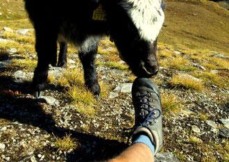 Unterwegs: Ein junges Yak prüft meinen Trekkingschuh