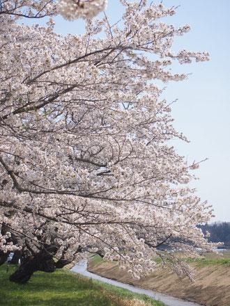 高倉川沿いの桜。春には、桜並木ウォーキングやまちあるきも開催されました。
