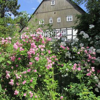 Rambler im Pinkgarten