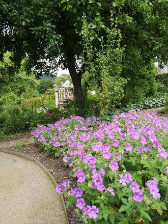 Geranium 'Sirak' im Schattengarten