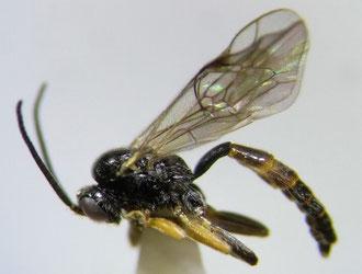 フトタマバチヤドリヒメバチ Orthopelma simile Kusigemari, 1974 ♂