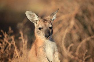 Baby Känguruh wartet auf die Mama