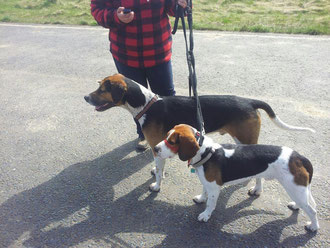 A large beagle next to a foxhound both males,
