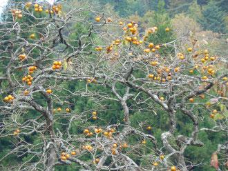 村の柿の木