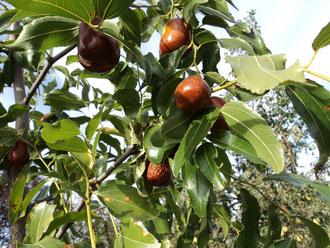 плоды грушевидной формы до 40 грамм,  крупнее не бывает, побеги без колючек.